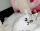 金吉拉幼猫活体纯种金吉拉幼猫母 金吉拉宠物猫活体