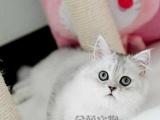 金吉拉 长毛猫 活体幼 猫小奶猫纯种家养宠物