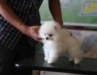 狗场里的博美犬能不能养活 价格贵不贵
