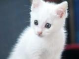 自家出生的波斯猫和金吉拉混血宝宝~鸳鸯眼 双蓝眼