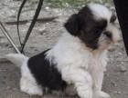 兰州哪有西施犬卖 兰州西施犬价格 兰州西施犬多少钱