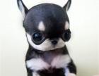 买狗找我 唐山哪里有卖纯种吉娃娃,吉娃娃多少钱?