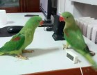 专业繁殖中大型亚历山大鹦鹉 和尚鹦鹉 鹩哥 金太阳鹦鹉