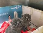 家养英短折耳蓝猫小母低价转让
