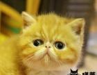 红虎斑加菲弟弟 异国短毛猫种公 超级萌骨骼大包售后
