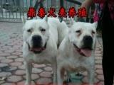 杜高犬配种-血统纯种双血统大骨架大体杜高犬-大头宽嘴杜高犬