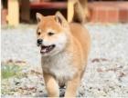 柴犬 常年销售 包细小犬瘟冠状 包防疫包纯种