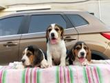 佛山出售 纯种比格幼犬 疫苗齐全出售中 可签协议健康保障