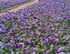 大型草花种植基地出售各类时令草花