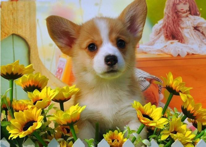 犬舍领养纯种柯基幼犬 免费领养品质优良 签订活体协议