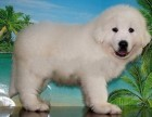 珠海纯种大白熊犬价格 珠海哪里能买到纯种大白熊