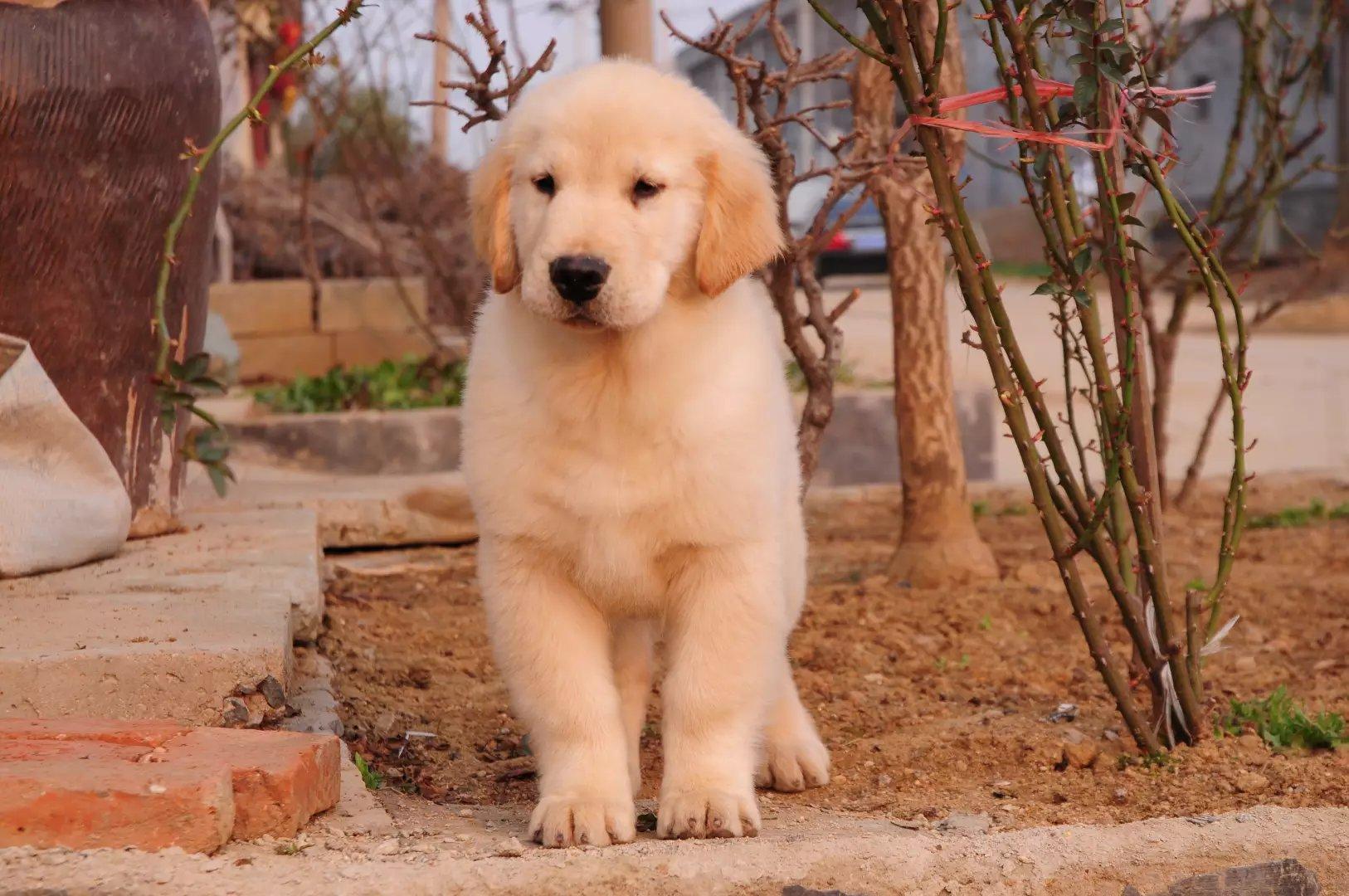 完美的你,身边还差一只金毛犬来相伴,从此不再孤单