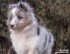 犬舍繁殖的喜乐蒂 品种纯正 保证健康 信誉犬舍