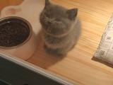 自家英短蓝猫