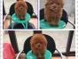 成都哪里有泰迪犬出售 泰迪价格是好多 泰迪图片