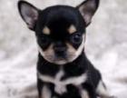康青名犬出售纯种吉娃娃犬多少钱纯种吉娃娃多少钱吉娃娃价格