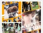 威尔士柯基犬双色三色柯基 英国女王犬 高端宠物狗狗