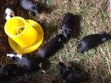 大量出售黑豚种苗