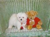 马尔济斯犬 最漂亮的小型犬 高品质好血统 马尔济斯价格
