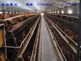 常年供应60-110天青年鸡