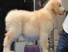 义乌哪里有卖金毛的 金毛幼犬大概多少钱