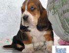 哪里出售巴吉度猎犬 哪里有卖巴吉度猎犬