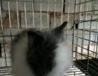 宠物兔,垂耳,猫猫,侏儒