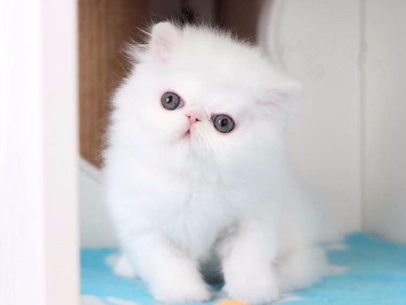重庆哪里有波斯猫卖 纯种 无病无廯 协议质保