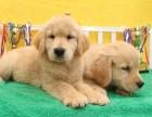 金毛幼犬出售,可上门挑选 支持全国送货上门