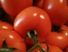 供应山东优质西红柿西红柿价格