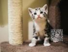 丽水出售纯种美短猫自家繁殖,品质保证,健康纯种