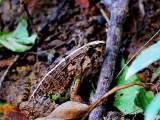 衢州虎纹蛙蛙基地衢州虎纹蛙幼苗供应