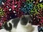 英短蓝白正八字母在售——欣雅猫猫