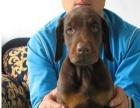 自家养的德系杜宾高品质纯种杜宾犬出售健康质保