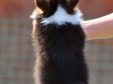 石家庄出售纯种柯基双色三色幼犬小短腿超萌家庭宠物狗活体宠物狗