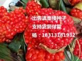云南粉质滇重楼种子七叶一枝花种子独脚莲种子