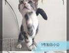 美短加白,英短蓝猫,美短标斑美喵