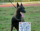 出专业繁殖马犬 血统纯正 疫苗齐全 品质保证