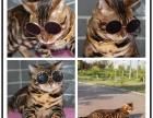 真实家养 TICA赛级玫瑰纹孟加拉豹猫金豹签协议的保证