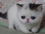 一猫在手 一生牵手 萌萌加菲猫 含泪出售