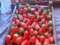 春季踏青草莓采摘之旅