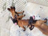 自家养殖的马犬 出售价格不高 加微信