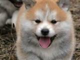 秋田犬纯种家养繁殖秋田犬出售精品家养活体宠物狗