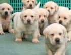 上海哪里有免費領養寵物狗 自家拉布拉多幼犬免費領養 公母都有