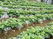 贵阳农用薄膜批发厂家 什么地方有卖划算的马铃薯种植地膜