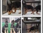 中国较大的德国牧羊犬专业繁殖基地 可上门挑选