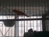 自养玉鸟芙蓉鸟出售