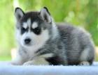 纯种哈士奇犬疫苗做好 免费送狗到家 包活签协议