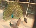 孔雀养殖厂里直销蓝孔雀 孔雀苗,鸵鸟,野鸡价格合理