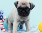 专业繁殖 纯种巴哥幼犬宝宝 低价出售 保纯种 健康